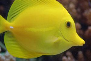 yellow-tang-639x424