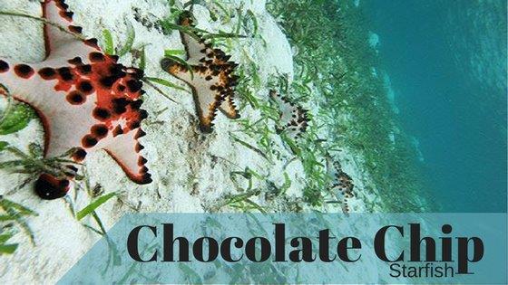 Chocolate ChipStarfishPostImageSmall