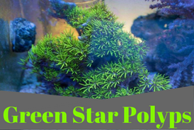 GreenStarPolyps