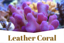 LeatherCoral