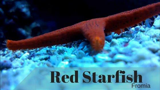 Red Fromia Starfish Header Image (2)