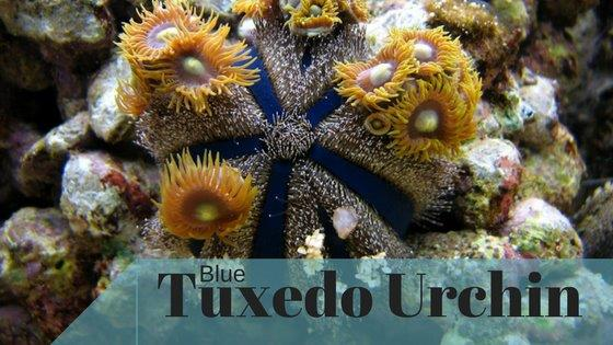 BlueTuxedoUrchinHeaderImage