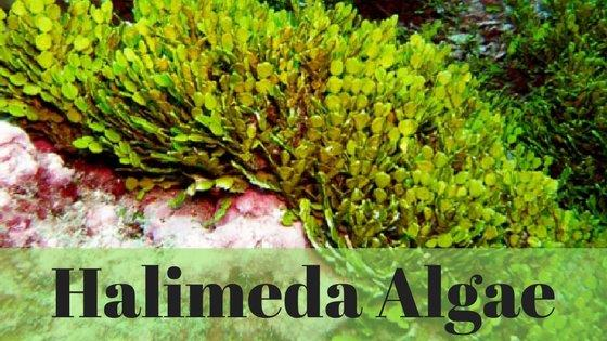 HalimedaAlgae_BlogIcon