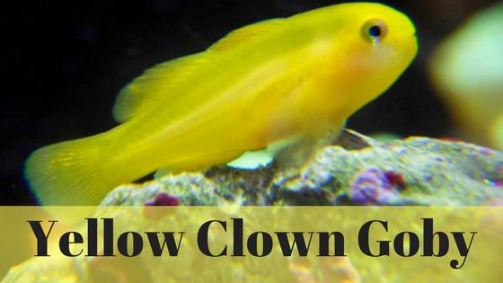 YellowClownGobyHeadder
