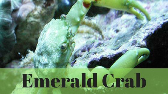 EmeraldCrab_PostIcon