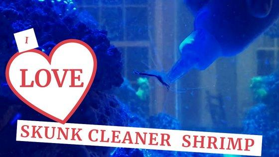 I love skunk cleaner shrimp