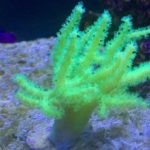LeatherCoral_GreenFinger_01